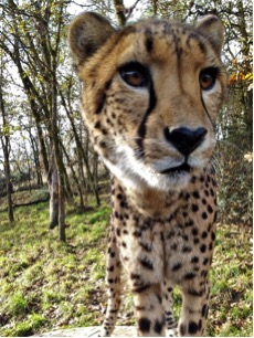 cheetah chirp