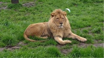 lion caroling