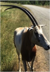 Scimitar-horned oryx3