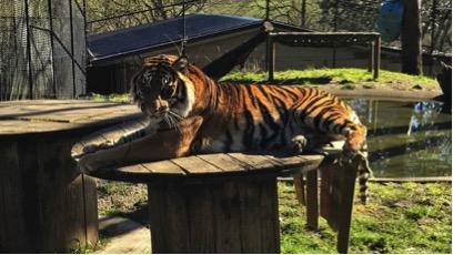 Tiger Chuff