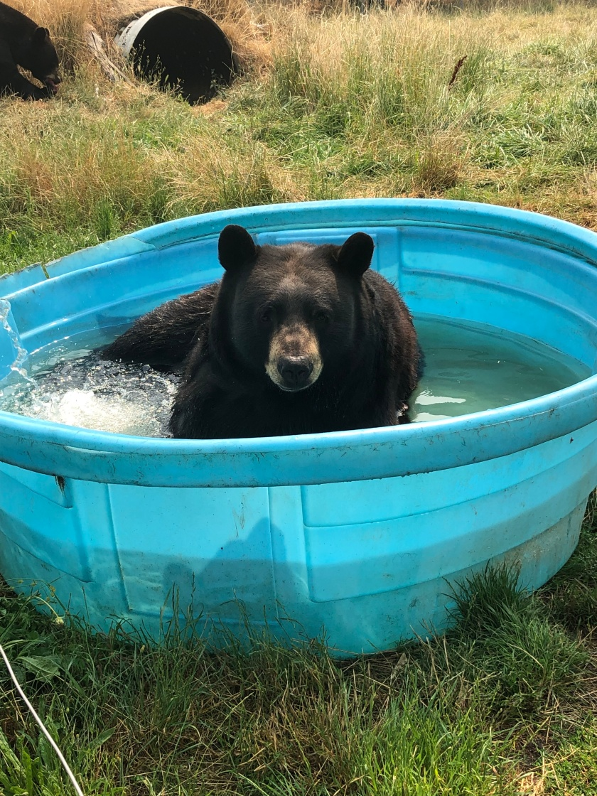 black bear in pool -carter